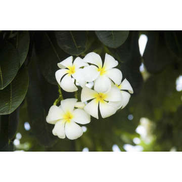 Frangipani Essential Oil 30ml