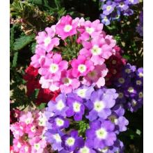 Top for Garden Verbena Flower Seeds Chinese Beautiful Verbena Flower supply to Trinidad and Tobago Manufacturer