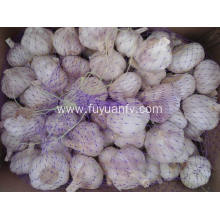 Regular export for Fresh Normal White Garlic