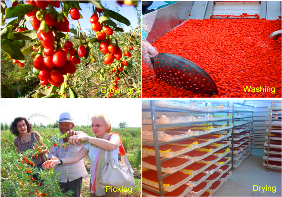 Goji berry growing, picking, washing, drying process