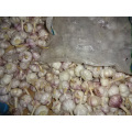 High Quality Best Price Fresh New Garlic