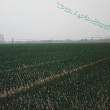 Professional Growing Field New Crop Fresh onions Export