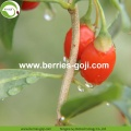 Factory Supply Healthy Nutrition Dry Fruit Goji