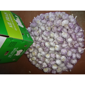 Normal White Garlic 5.0-5.5cm New Crop