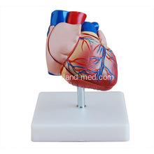 Top Quality for Liver Model Life-Size Heart Model for Medical Teaching supply to Greece Manufacturers