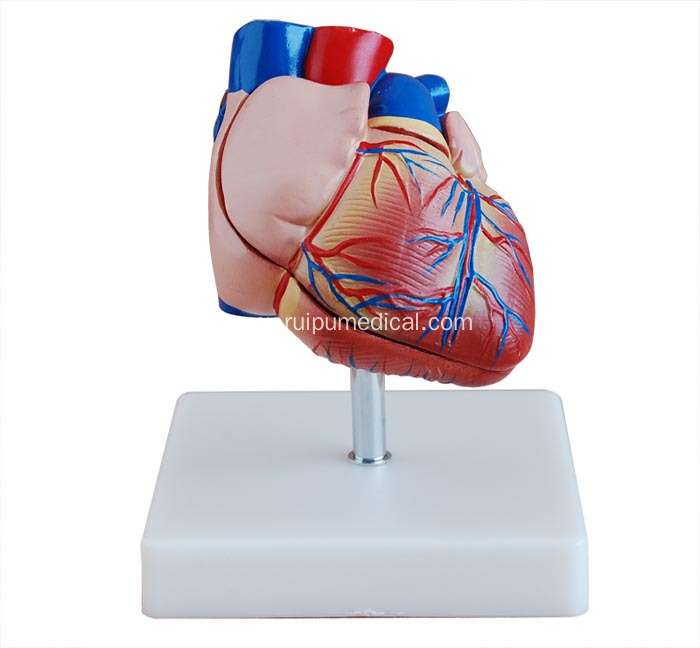 Life-Size Heart Model for Medical Teaching