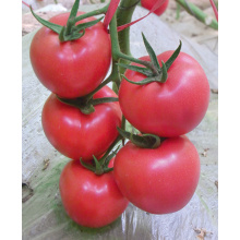 Leading for Yellow Long Tomato F1 hybrid tomato seeds for sale export to Marshall Islands Manufacturers