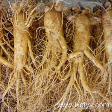 wild ginseng root tea