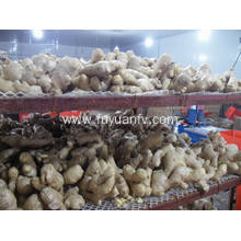 The best export grade air dried ginger