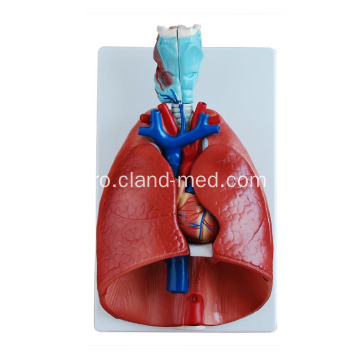 Larynx, Heart și Lung Model