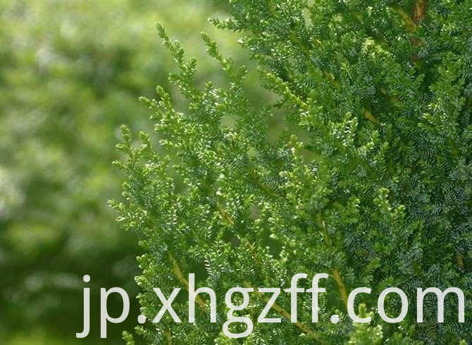 Cypress Essential Oil Price