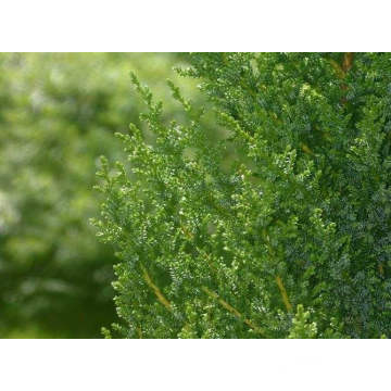 High Quality for Organic Cypress Essential Oil Cypress Essential Oil 10ml export to South Korea Manufacturers