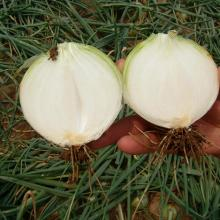Wholesale Good Quality Fresh Onions