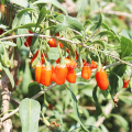 Goji Berries Best Price