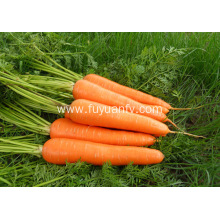 Size L fresh carrot