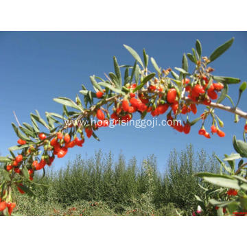 Dried Fruit Goji Berry with High quality Wolfberry