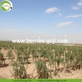 Best Quality Wholesale Nutrition Dried Wolfberries Organic