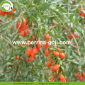 Factory Wholesale Nutrition Healthy Wolfberry