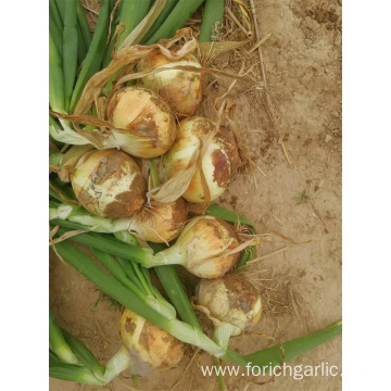 Sizes 5.0-7.0cm New Crop Yellow Onion