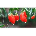 manufacturer sales Top quality Chinese organic goji berries/wolfberry for food grade