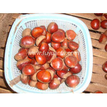 cheap top quality fresh chestnut