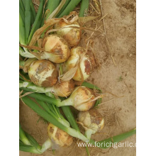 Fresh New Crop Yellow Onion 2019