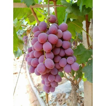 Fresh Global Red Grapes