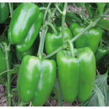 Chinese Professional for Green Bell Pepper Seeds F1 hybrid sweet green pepper seeds export to Cook Islands Suppliers