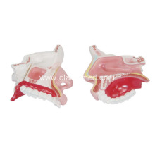 Best-Selling for Liver | Stomach Model, Life-Size Heart Model, Human Heart Model - China. Model of the Anatomy Nasal Cavity export to Hungary Manufacturers