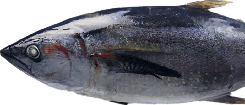 Whole Round Frozen Tuna Fish