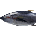 Sea Frozen Tuna Whole Sale