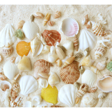 High reputation for Large Seashells Bag Packed Natural Mixed Sea Shell For Decoration export to Namibia Supplier