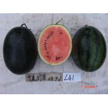 Medium maturity black watermelon seeds for planting