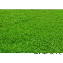 Good Quality Bermuda Grass For Sale