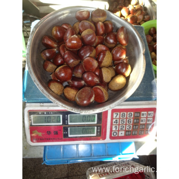 New Crop High Quality Chestnut