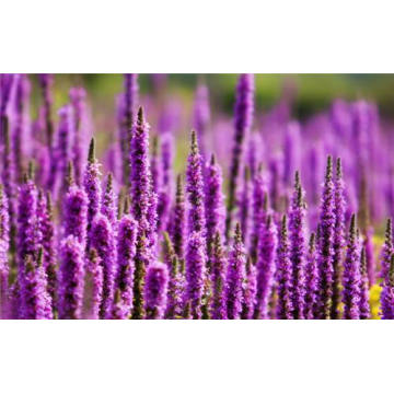 High Quality for Pure Lavender Oil,Lavender Essential Oil,Natural Lavender Essential Oil Manufacturers and Suppliers in China Lavender Essential Oil 10ml export to Portugal Manufacturers