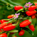 Low pesticide residues Goji Berry