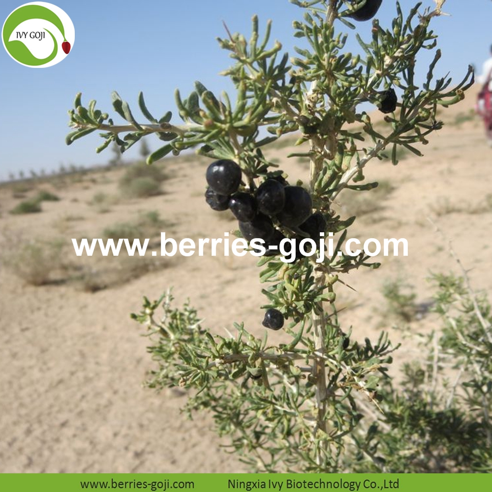 Black Goji Berry