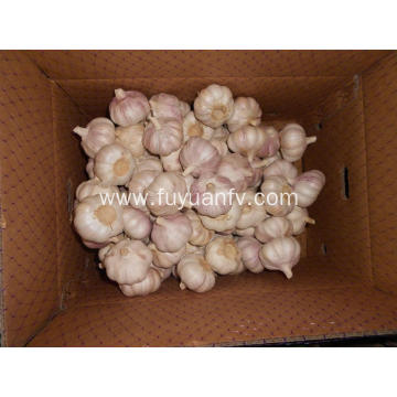 fresh garlic of good quality