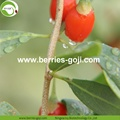 Factory Supply Nutrition Dry Fruit Healthy Goji Berries