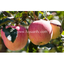 Round Fresh Cheap Qinguan apple