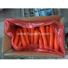 Fresh Carrot with big size