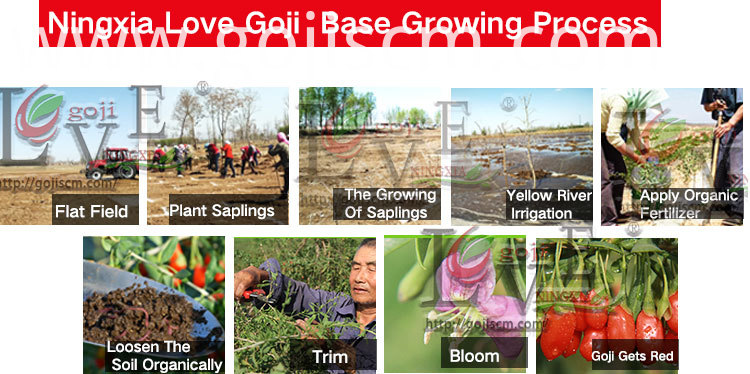 Organic Good Quality Goji growing process