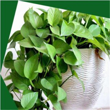 Fast Delivery for China Artificial Trees,Artificial Palm Tre,Artificial Tree for Weddings,Decorative Plants Artificial Trees Supplier Artificial epipremnum aureum pot export to India Wholesale