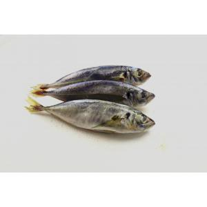 Whole Round Frozen Scad Mackerel