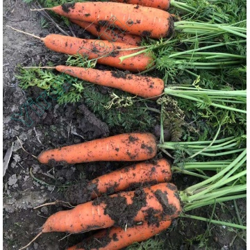 Large Volume Fresh Carrots Wholesale
