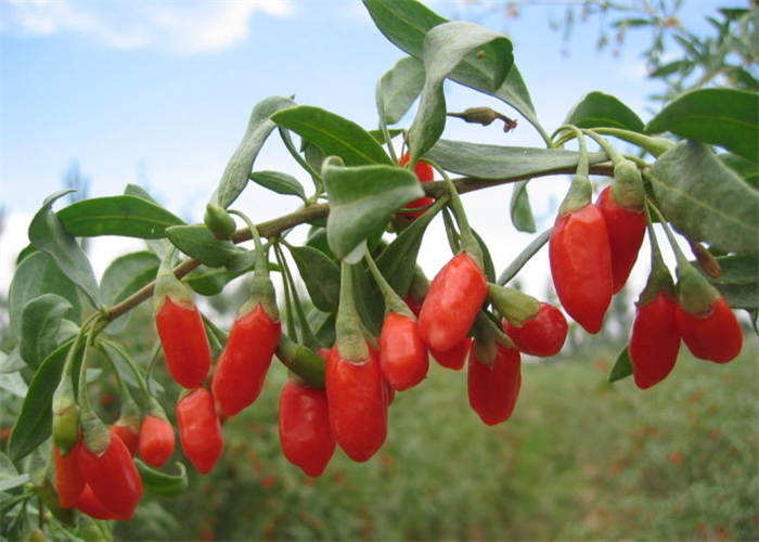 High Quality Bulk Wholesale Ningxia goji berry