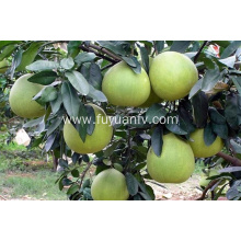 2018 new crop honey pomelo