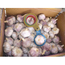 100% Original Factory for Dry Normal White Garlic Normal white garlic 5.5 cm from jinxiang supply to Armenia Exporter