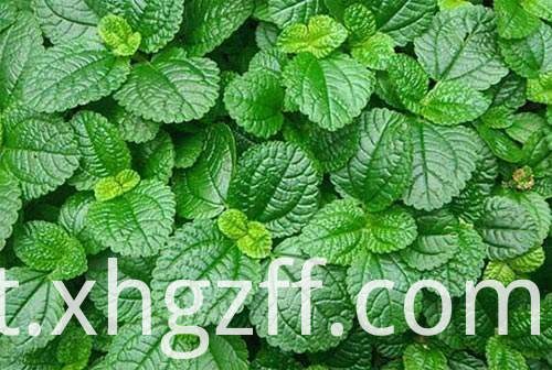Peppermint Essential Oil Online